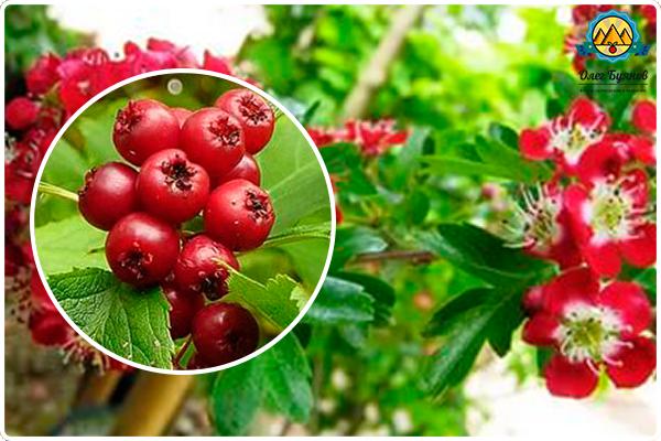 плоды и цветки боярки