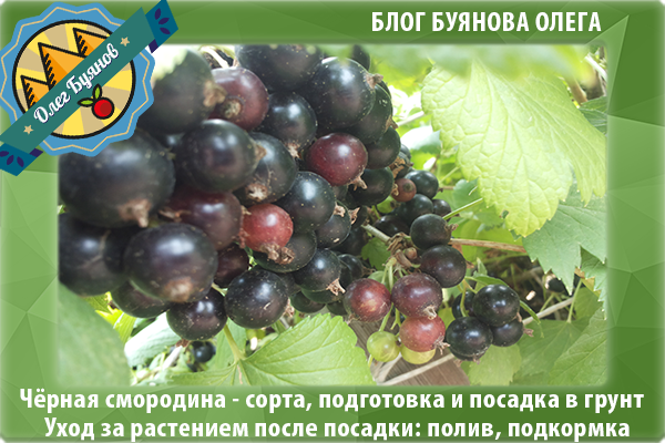 ягоды чёрной смородины