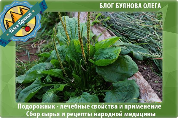 растение подорожник