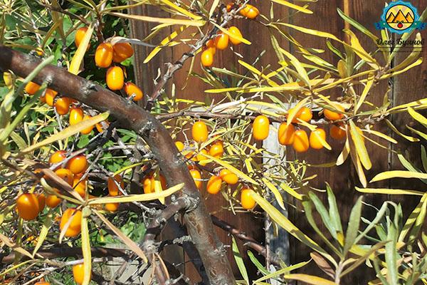 оранжевые плоды облепихи