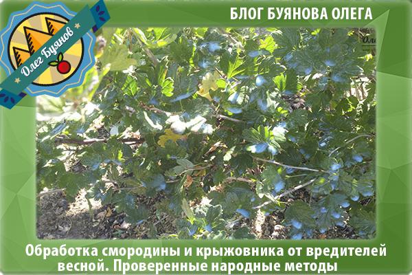 листья крыжовника
