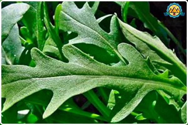 листья рукколы