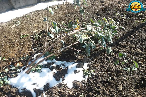 кусты малины после зимы