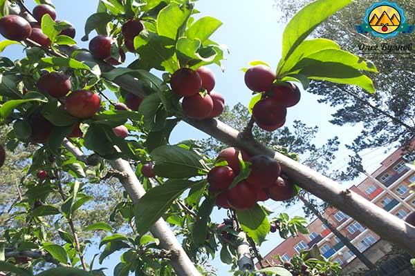 ягоды сливы