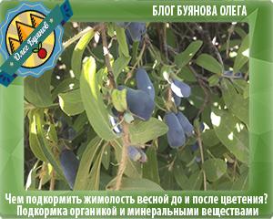 ягоды жимолости