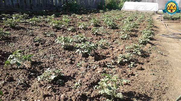 поле с картофелем