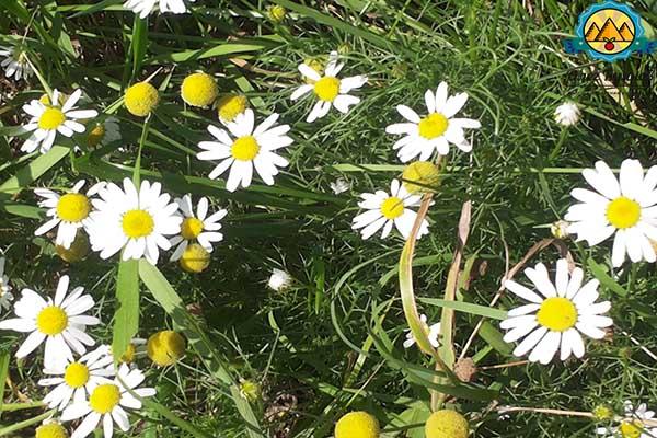 трава ромашка