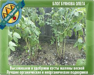 зелёные листья малины
