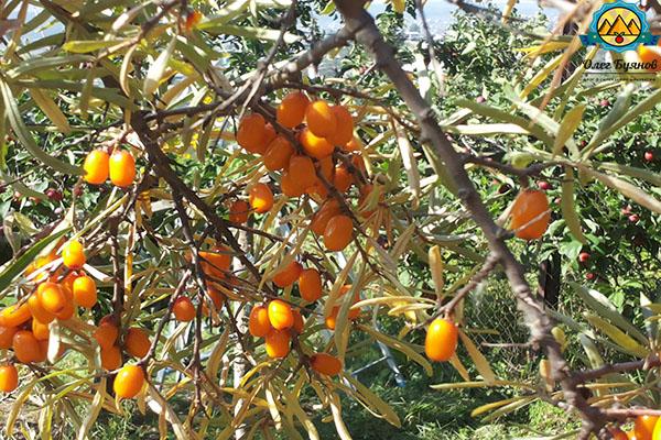 облепиховые ягоды на кусту