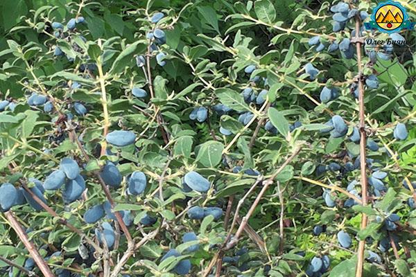 урожай ягодки жимолости