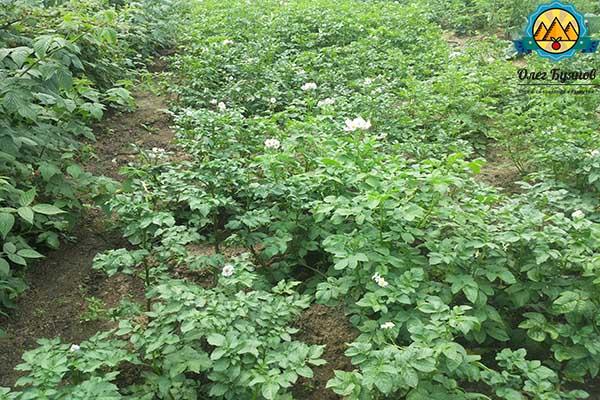 растёт картофель