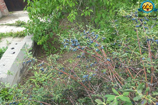 куст синей ягоды