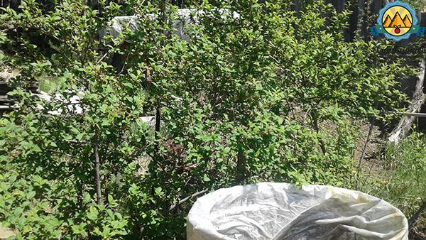 куст вишни на даче