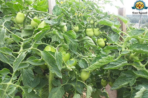 томаты дачные