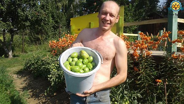 буянов олег с урожаем томатов
