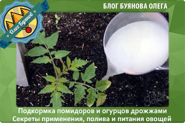 поливаю помидоры