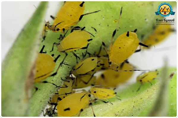 насекомое тля