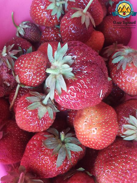 урожай дачной ягоды