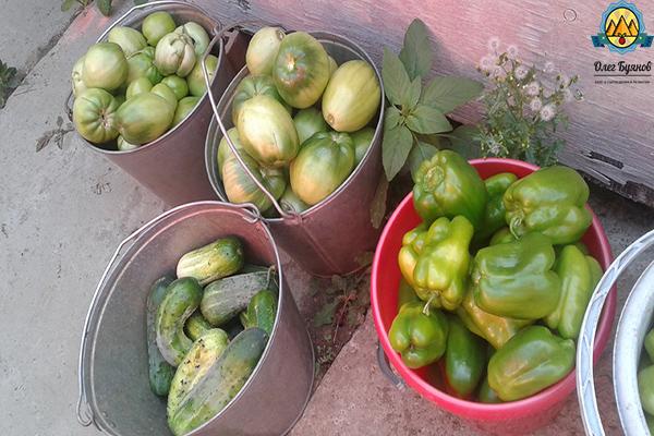 урожай томатов