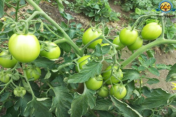гроздья помидоров