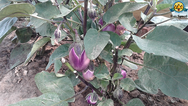 баклажан овощ