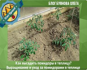 молодые томаты