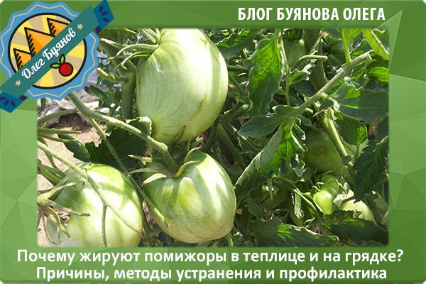 дачные томаты