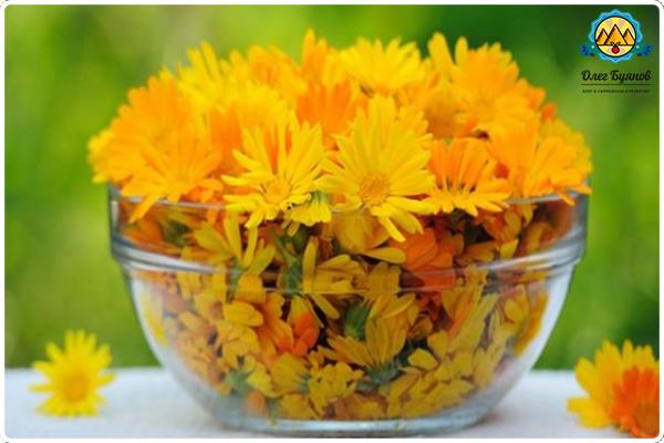 много цветков календулы