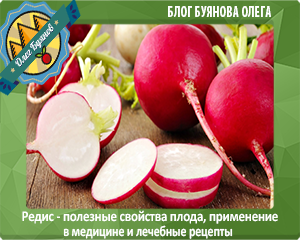 редиска овощ