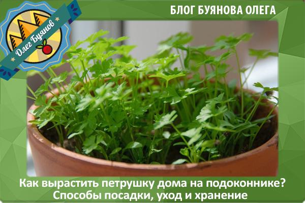 выращиваем петрушку дома