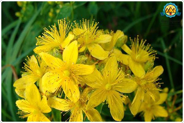 жёлтые цветки зверобоя