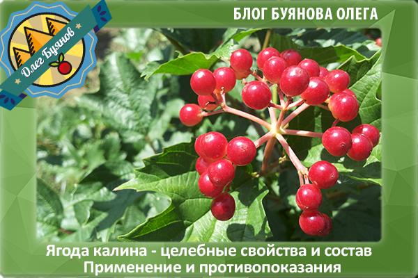 красная калина ягоды