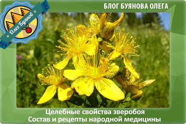 Зверобой - целебные свойства и применение лекарственного растения