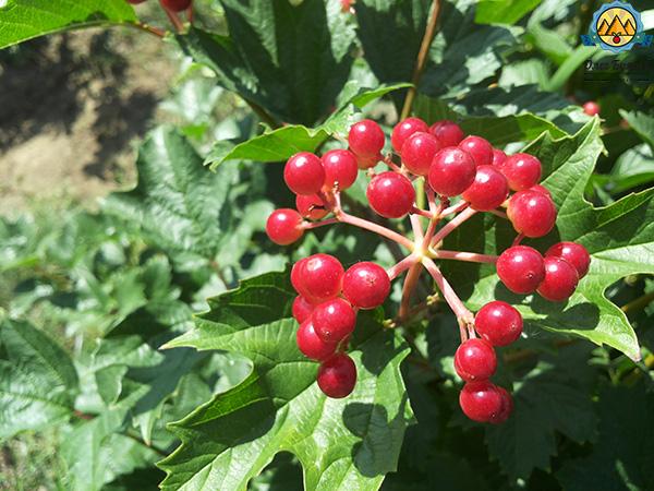 ягода красная калина на кусту