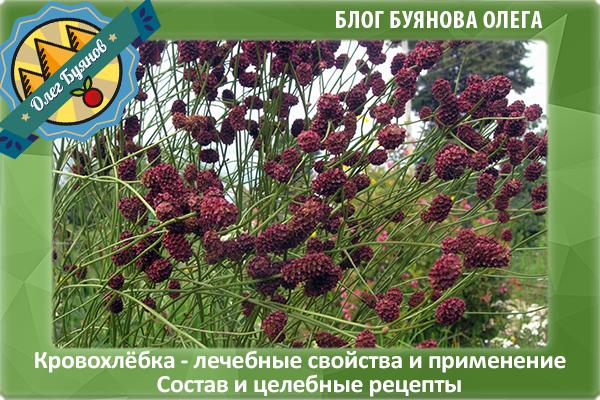 кровохлёбка растение