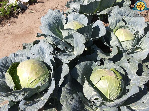 плоды белокочанной капусты