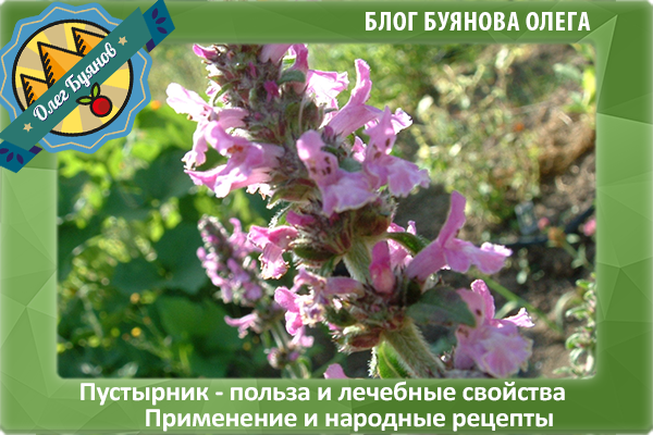 цветок пустырника