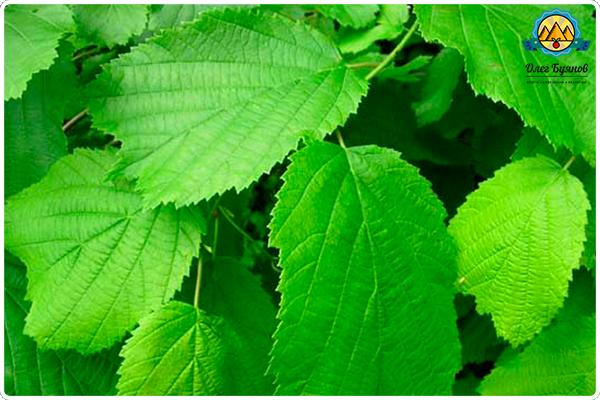 Лечебные свойства листьев лещины