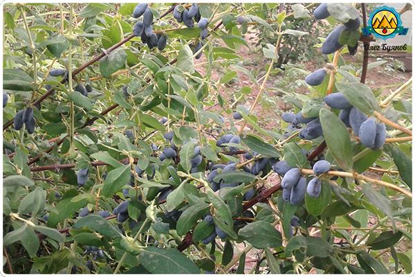 жимолость ягоды