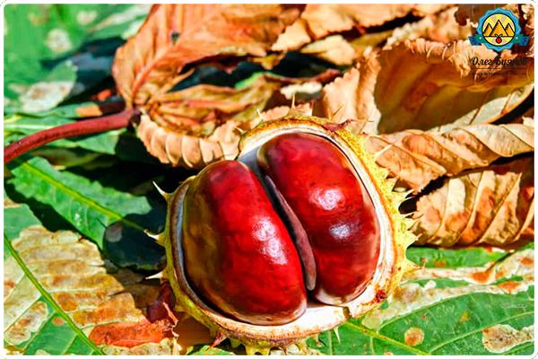 плод каштана