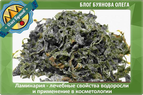 водоросль ламинария