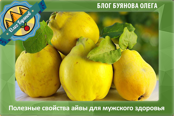 жёлтая айва