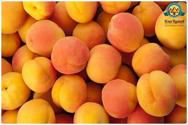 жёлтые плоды абрикосов