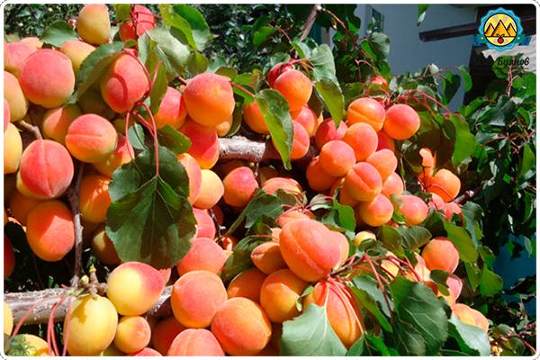 как растут абрикосы