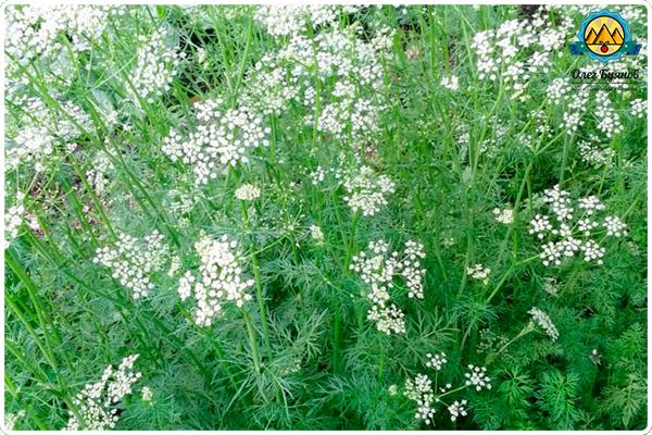 растение зира