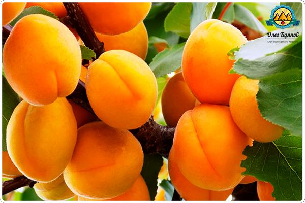 фрукты на дереве