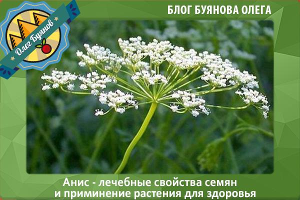 цветки аниса
