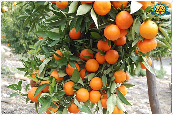 дерево грейпфрут