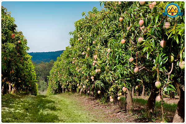 деревья манго
