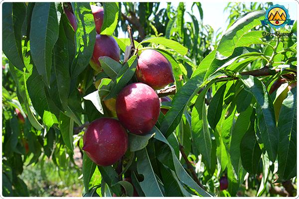 красные фрукты